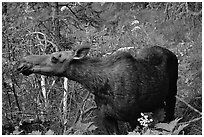 Cow moose reaching for plant. Yellowstone National Park ( black and white)