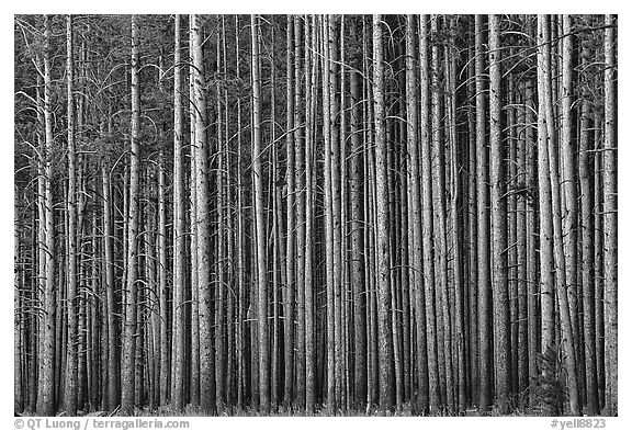 Densely clustered lodgepine tree trunks, dusk. Yellowstone National Park (black and white)