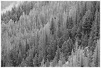 Frosted trees. Yellowstone National Park, Wyoming, USA. (black and white)