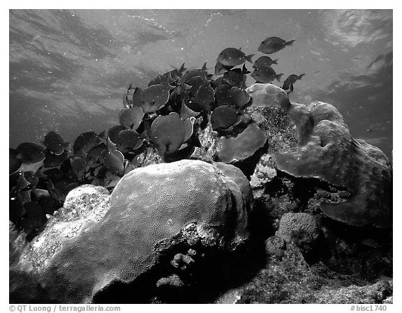 Coral and blue fish. Biscayne National Park (black and white)