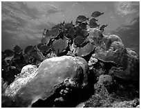 Coral and blue fish. Biscayne National Park, Florida, USA. (black and white)