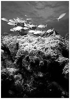 Coral and smallmouth grunts. Biscayne National Park, Florida, USA. (black and white)