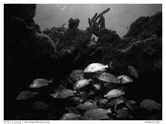 Smallmouth grunts under overhanging rock. Biscayne National Park (black and white)