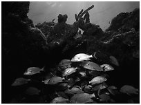 Smallmouth grunts under overhanging rock. Biscayne National Park ( black and white)