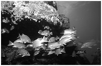 Yellow snappers under an overhang. Biscayne National Park ( black and white)