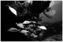 Yellow snappers and smallmount grunts under a overhanging rock. Biscayne National Park, Florida, USA. (black and white)