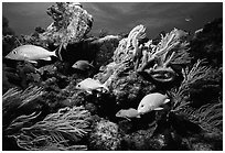 Yellow snappers and soft coral. Biscayne National Park ( black and white)