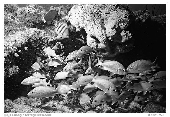 Yellow snappers and orange coral. Biscayne National Park (black and white)