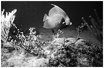 Fish. Biscayne National Park, Florida, USA. (black and white)