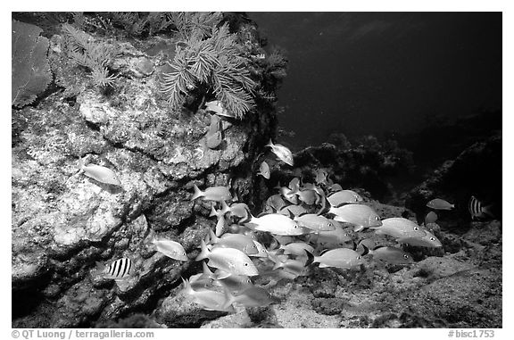 School of fish and rock. Biscayne National Park (black and white)