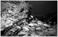 School of fish and rock. Biscayne National Park ( black and white)