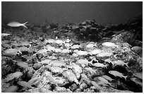 School of yellow snappers. Biscayne National Park, Florida, USA. (black and white)