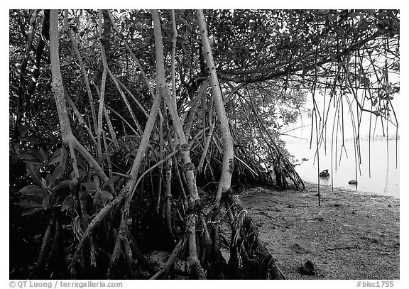 Mangroves on the shore at Convoy Point. Biscayne National Park (black and white)