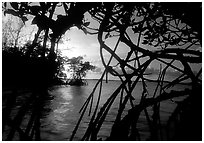 Biscayne Bay viewed through dense mangrove forest, sunset. Biscayne National Park, Florida, USA. (black and white)