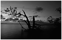Biscayne Bay viewed through fringe of mangroves, dusk. Biscayne National Park, Florida, USA. (black and white)