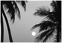 Palm trees leaves and moon, Convoy Point. Biscayne National Park, Florida, USA. (black and white)