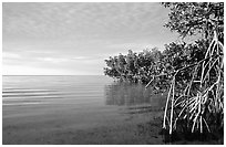 Mangrove shore of Elliott Key, sunset. Biscayne National Park ( black and white)