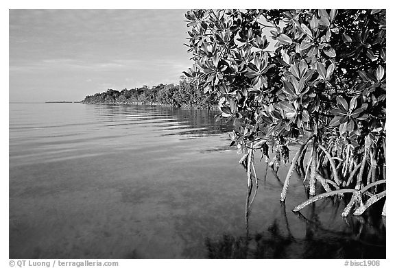 Coastal environment with mangroves,  Elliott Key, sunset. Biscayne National Park (black and white)