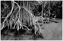 Mangrove (Rhizophora) root system,  Elliott Key. Biscayne National Park, Florida, USA. (black and white)