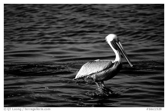 Pelican. Biscayne National Park (black and white)