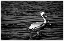 Pelican. Biscayne National Park, Florida, USA. (black and white)