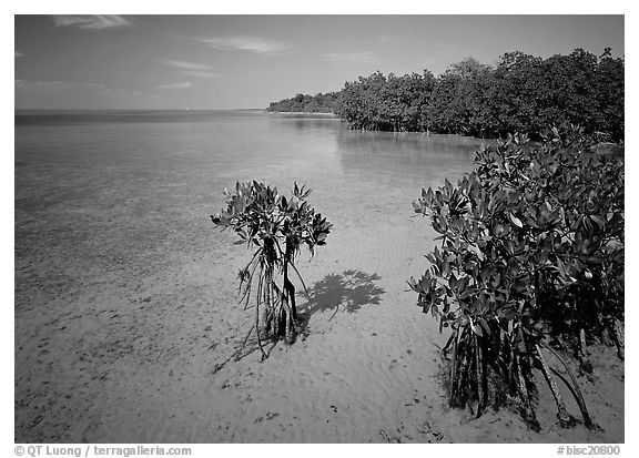 Mangrove shoreline on Elliott Key near the harbor, afternoon. Biscayne National Park (black and white)