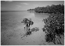 Depositional coastal environment with mangrove on Elliott Key, afternoon. Biscayne National Park, Florida, USA. (black and white)