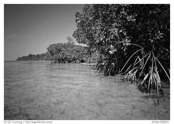 Mangrove trees in shallow water, Elliott Key, afternoon. Biscayne National Park (black and white)