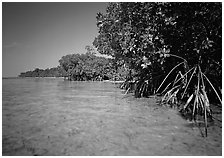 Mangrove trees in shallow water, Elliott Key, afternoon. Biscayne National Park, Florida, USA. (black and white)