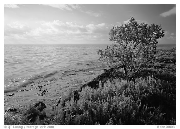 Saltwarts plants and tree on oceanside coast, early morning, Elliott Key. Biscayne National Park (black and white)