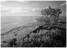 Saltwarts plants and tree on oceanside coast, early morning, Elliott Key. Biscayne National Park, Florida, USA. (black and white)