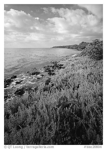Saltwarts plants and tree on the outer coast, morning, Elliott Key. Biscayne National Park (black and white)