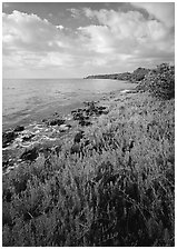 Saltwarts plants on outer coast, morning, Elliott Key. Biscayne National Park ( black and white)