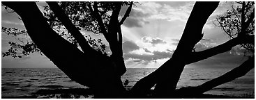 Ocean sunrise seen through branches of tree. Biscayne National Park (Panoramic black and white)