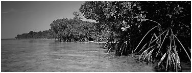 Mangrove coastline. Biscayne National Park (Panoramic black and white)