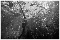 Looking up juvenile fish and mangrove from under water. Biscayne National Park ( black and white)