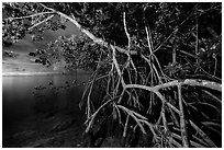 Mangrove tree branches at night, Convoy Point. Biscayne National Park, Florida, USA. (black and white)