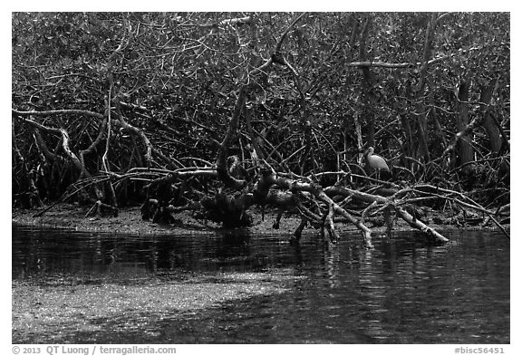 Bird amongst mangroves. Biscayne National Park (black and white)