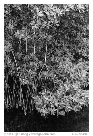 Mangrove roots and leaves. Biscayne National Park (black and white)