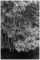 Mangrove roots and leaves. Biscayne National Park, Florida, USA. (black and white)