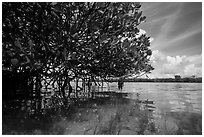 Mangrove and reflections in glassy water. Biscayne National Park ( black and white)