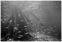 Underwater view of fish and mangrove roots, Convoy Point. Biscayne National Park ( black and white)