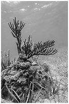 Gorgonia Coral head and Cocoa Damsel fish, Garden Key. Dry Tortugas National Park, Florida, USA. (black and white)