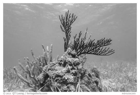 Coral and seagrass, Garden Key. Dry Tortugas National Park (black and white)