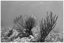 Fan coral and Sea Rod, Garden Key. Dry Tortugas National Park, Florida, USA. (black and white)