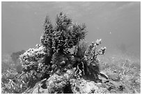 Sea Plume Corals and juvenile Cocoa Damsel, Garden Key. Dry Tortugas National Park, Florida, USA. (black and white)