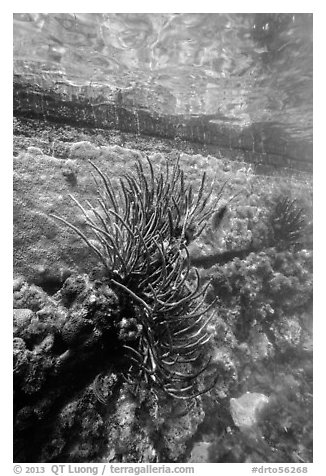 Coral outside Fort Jefferson moat. Dry Tortugas National Park (black and white)