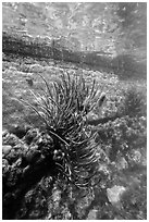 Coral outside Fort Jefferson moat. Dry Tortugas National Park, Florida, USA. (black and white)