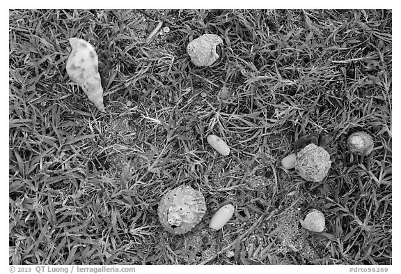 Hermit crabs and palm tree nuts. Dry Tortugas National Park (black and white)