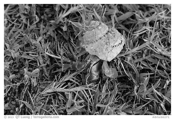 Hermit crab, Garden Key. Dry Tortugas National Park (black and white)